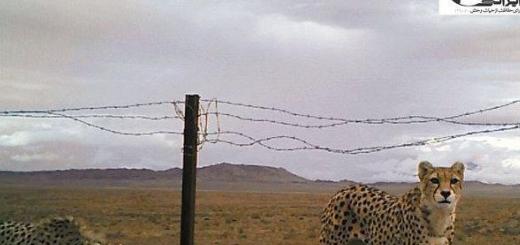 تصویر جدید از یوزپلنگ ماده و توله اش در منطقه میاندشت