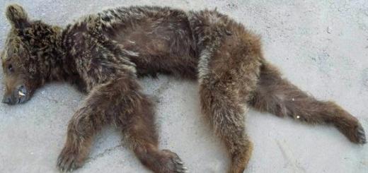 مرگ یک خرس قهوه ای در سمنان