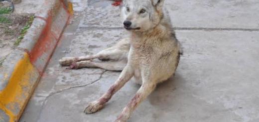 تلاش ها برای نجات گرگ خاکستری بی نتیجه ماند