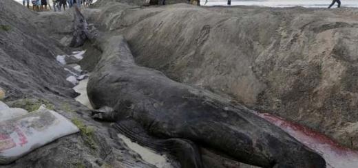 دفن صحیح نهنگ مرده در ساحل ریواس در نیکاراگوئه