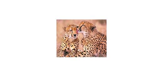 رابطه یوزپلنگ با انسان