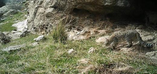 تصویربرداری از گربه وحشی در منطقه حفاظت شده دینارکوه