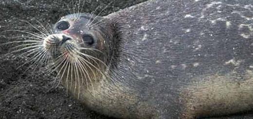 امید تازه در محافظت از تنها پستاندار دریای خزر