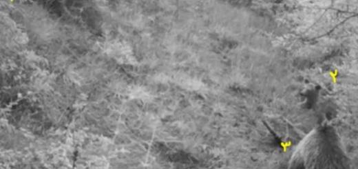 تصاویر سه خرس قهوه ای در منطقه حفاظت شده پرور