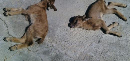 بازداشت  عامل زنده گیری و مرگ دو بزغاله وحشی در کهنوج کرمان