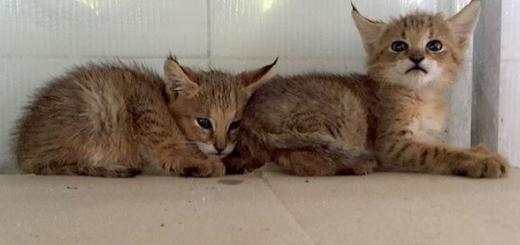 کشف دو توله گربه جنگلی از یک قاچاقچی حیوانات در تهران