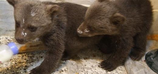 تحویل دو توله خرس قهوه ای به محیط زیست گلستان