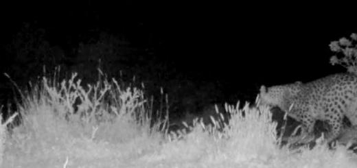 تصاویر دو پلنگ ایرانی در منطقه حفاظت شده پرور