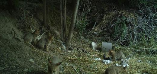 گربه جنگلی و پنج توله اش در اشترانکوه