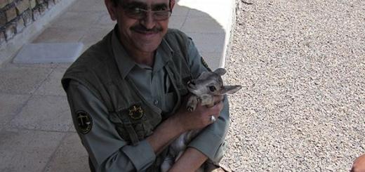 نجات بره قوچ وحشی از شکارچی غیرمجاز در اردستان