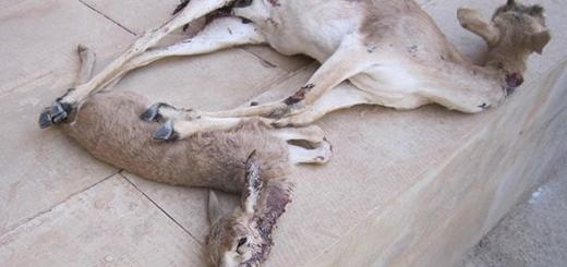 کشتار بیرحمانه توسط سگ های شکاری در قصرشیرین