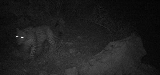 ثبت تصاویر زیبا از پلنگ ایرانی در تاریکی شب