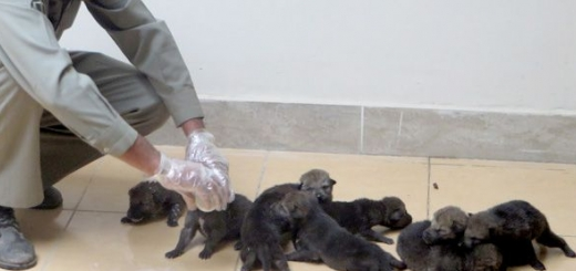 ۱۰ توله گرگ بی سرپرست توسط محیط بانان نجات یافتند