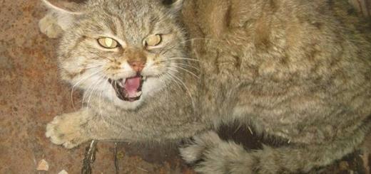زنده گیری یک گربه وحشی پس از تلف نمودن یازده بوقلمون