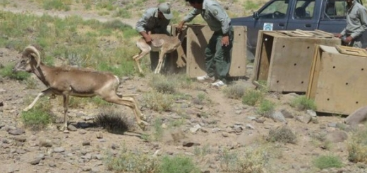 رهاسازی ۹ قوچ و میش وحشی در منطقه شکار ممنوع سده خواف
