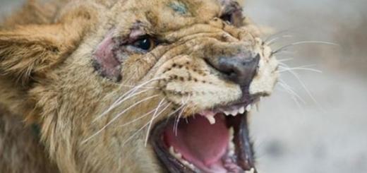شیر و خرس سیرک پرشین به سازمان محیط زیست انتقال یافت