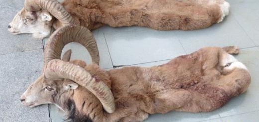کشف لاشه دو راس قوچ وحشی در شهر تهران