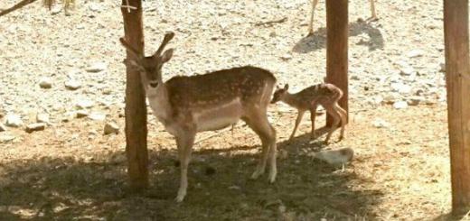 گوساله گوزن زرد در کلینیک حیات وحش پردیسان متولد شد