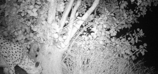 تصویر یوز پلنگ آسیایی در منطقه شکار ممنوع بهاباد یزد