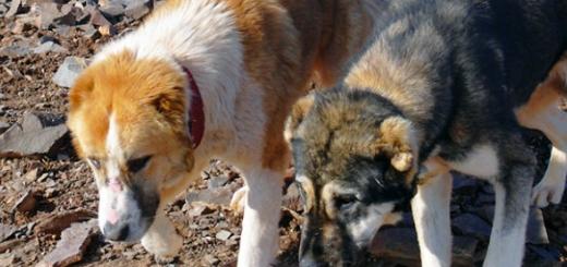 طرح واکسیناسیون و عقیم سازی سگهای کوهستان (بی سرپرست)
