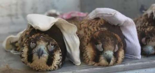 پرنده شکاری کمیاب با پلک دوخته شده