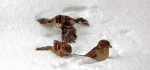 پرندگان در یک روز برفی