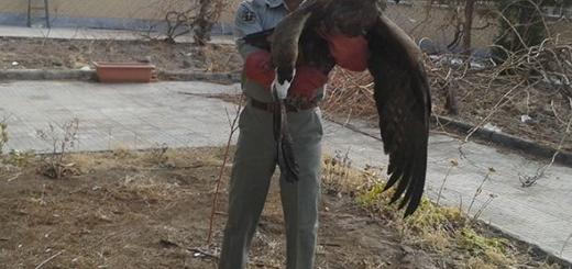 عقاب طلایی مجروح مهمان محیط بانان بردسیر