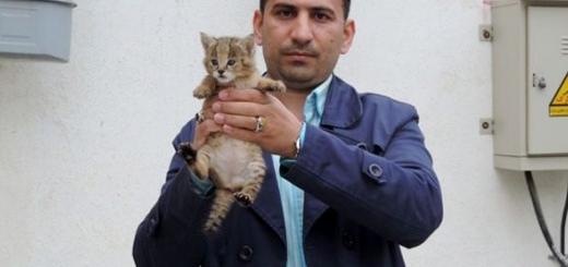 تحویل توله گربه جنگلی به محیط زیست استان گلستان