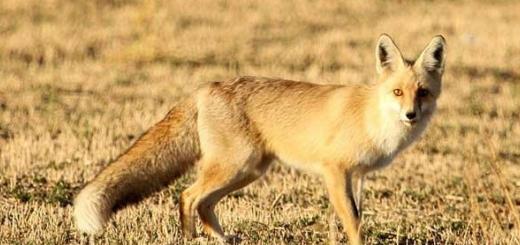 مرگ یک روباه بر اثر ضرب و شتم چند سرباز