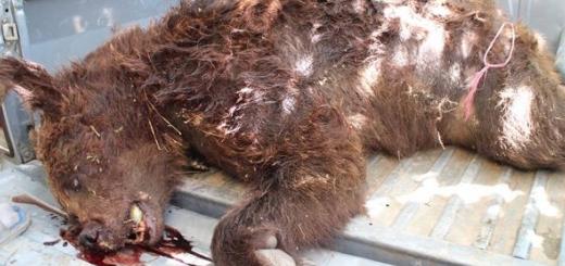 خرس قهوه ای در شهرستان فیروزکوه توسط گلوله کشته شد