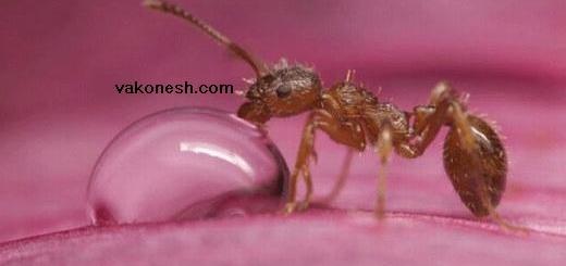 شکار لحظه آب خوردن مورچه