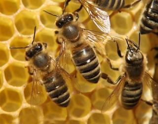 برداشت عسل پائیزی از کندوهای بخش جویم