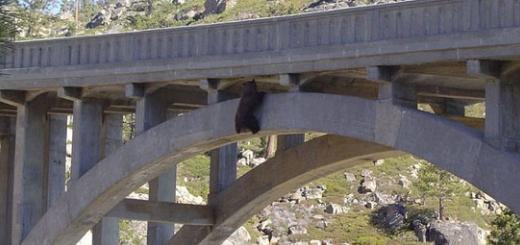 عملیات نجات یک خرس  از ارتفاع ۲۵ متری