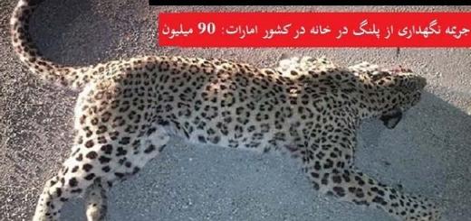 جریمه نگهداری پلنگ در خانه در امارات ۱۸ برابر شکار پلنگ در ایران