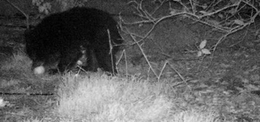 دو توله خرس سیاه آسیایی در باغ مرکبات در شهرستان رودان