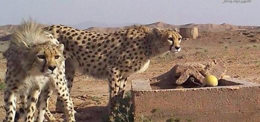 یوزپلنگ ماده و توله اش در پناهگاه حیات وحش میاندشت